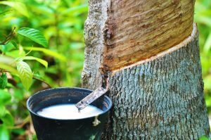 Latex is a natural rubber that comes from trees.